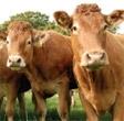 Dales Beef - Kendalls Farm Butchers
