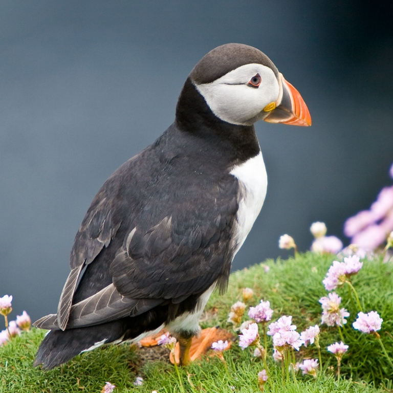 Puffin Print Photography Fenwick Gallery