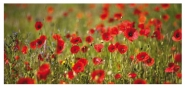 Poppy Field - Card