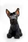 Small Scottie Dog