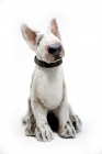 Small english bull terrier