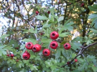 Hawthorn Leaves & Berries